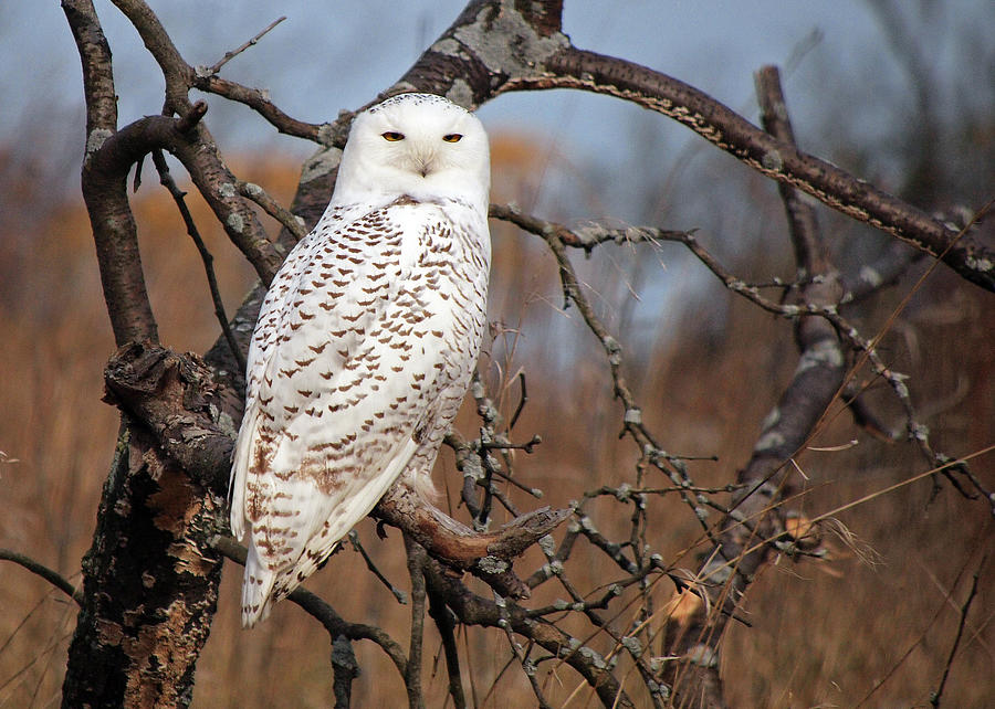 Snowy Owl Photograph by Copyright John Picken