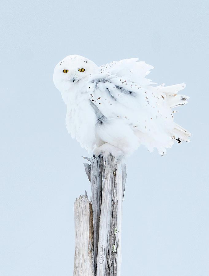 Snowy Owl Feather Shake by Judi Dressler