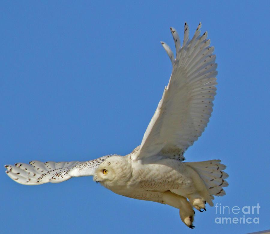 Snowy Owl Fliy-by by Butch Lombardi
