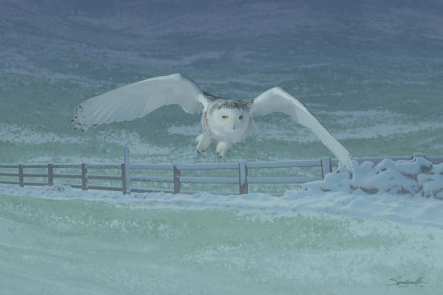 Snowy Owl Hunting by Spadecaller
