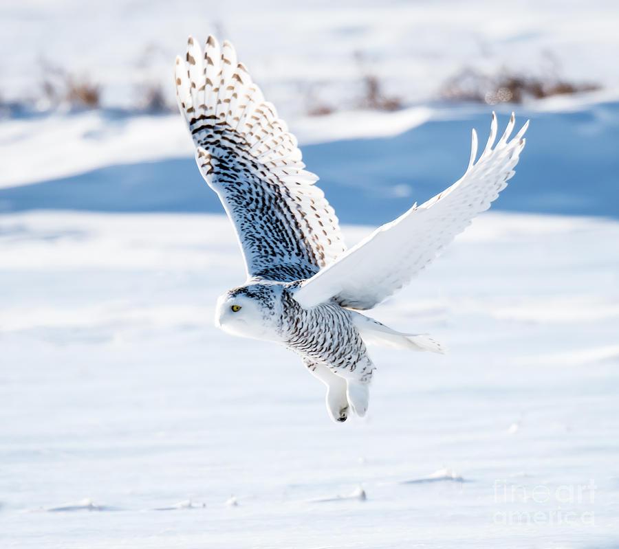 Prey Photograph - Snowy Owl In Flight by Fotorequest