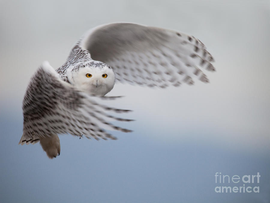 Raptor Photograph - Snowy Owl In Flight by Tom Middleton