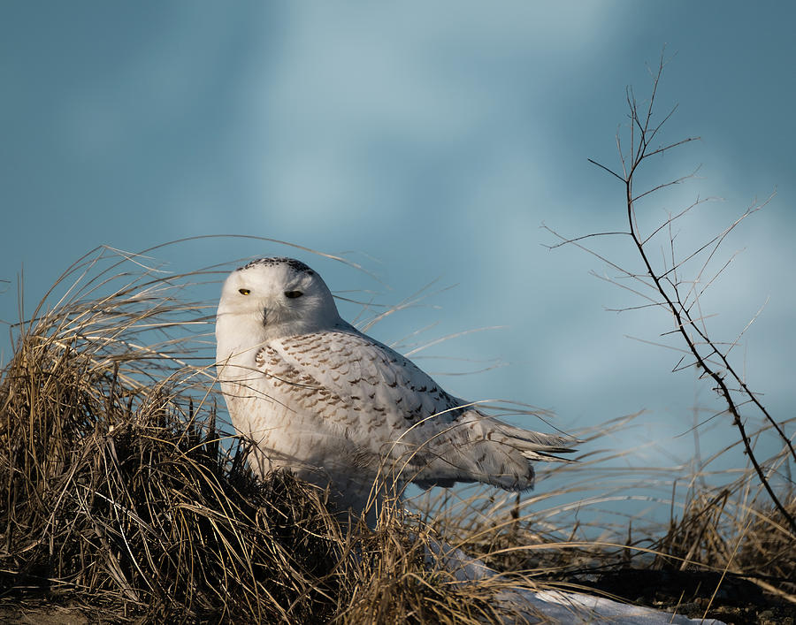 Snowy Owl in the Dune Grass by Betty Denise