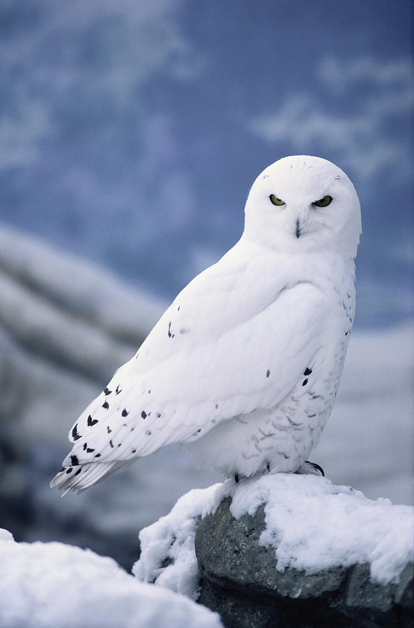 Snowy Owl Nyctea Scandiaca Perching On Photograph by Alan And Sandy Carey