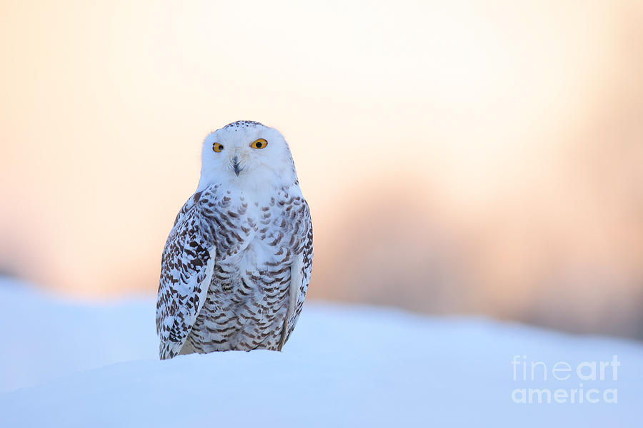 Feather Photograph - Snowy Owl, Nyctea Scandiaca, Rare Bird by Ondrej Prosicky