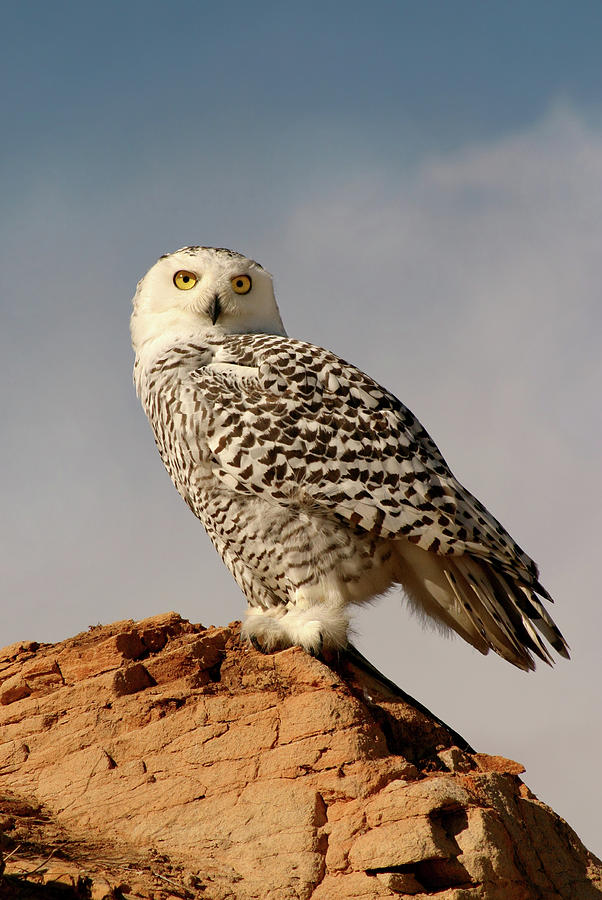 Snowy Owl On A Bluff Photograph by Missing35mm