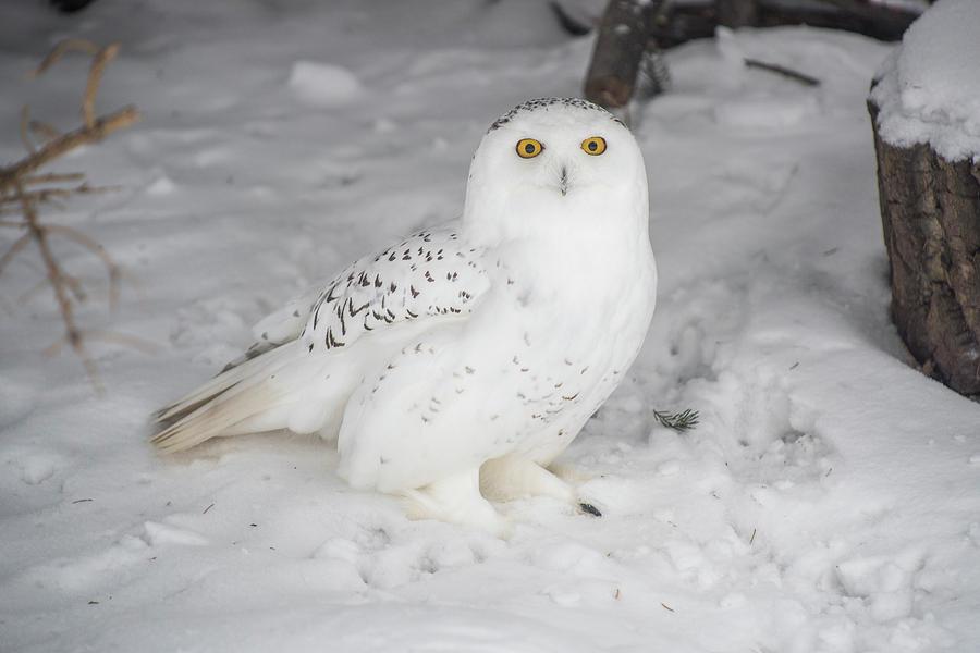 Snowy Owl on Ground by Bill Cubitt
