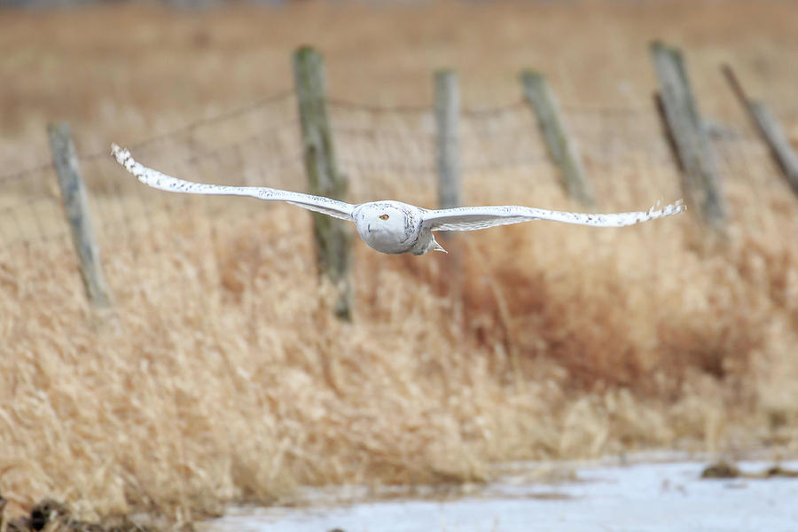 Snowy Owl on the Hunt by Gary Hall