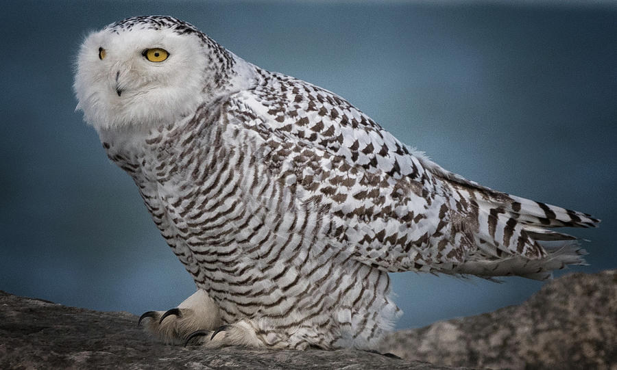Snowy Owl  by Richard Kopchock