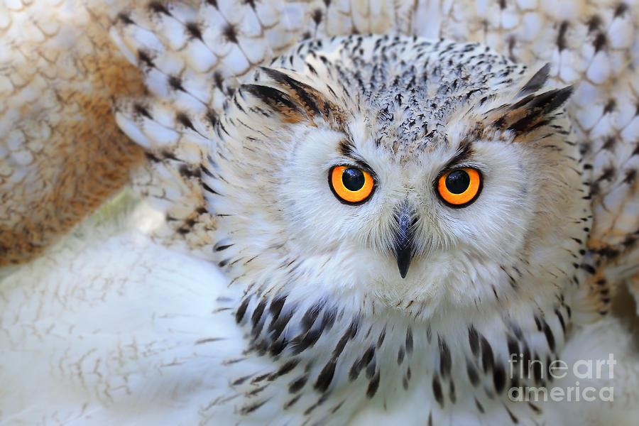 Feather Photograph - Snowy Owl by Skynavin