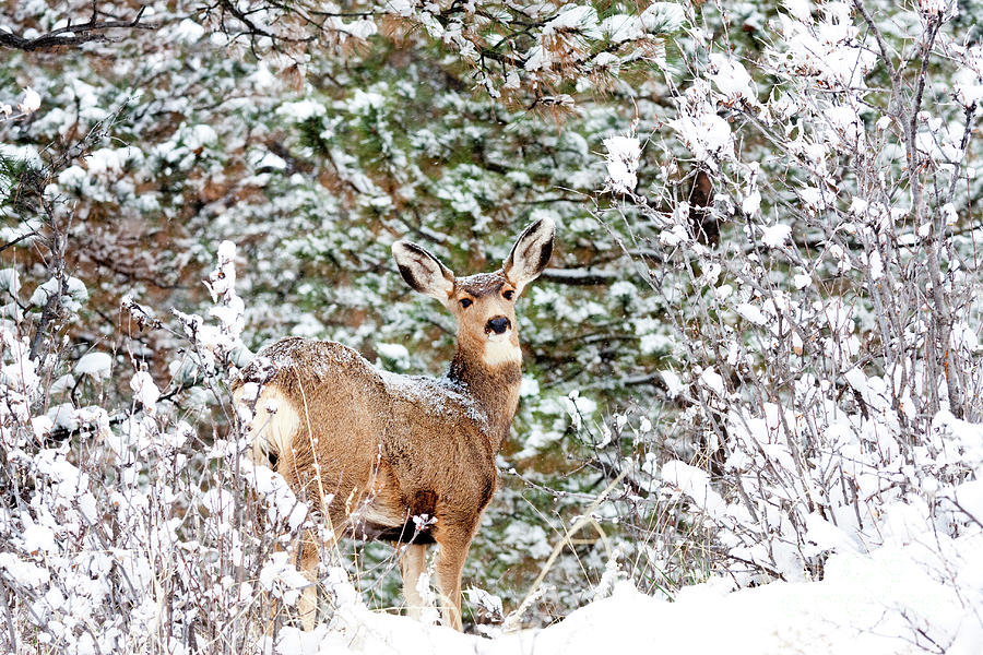 Snowy Portrait Of A Mule Deer Doe Photograph
