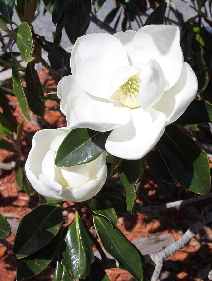 Snowy White Gardenia Blossoms by Philip Bracco