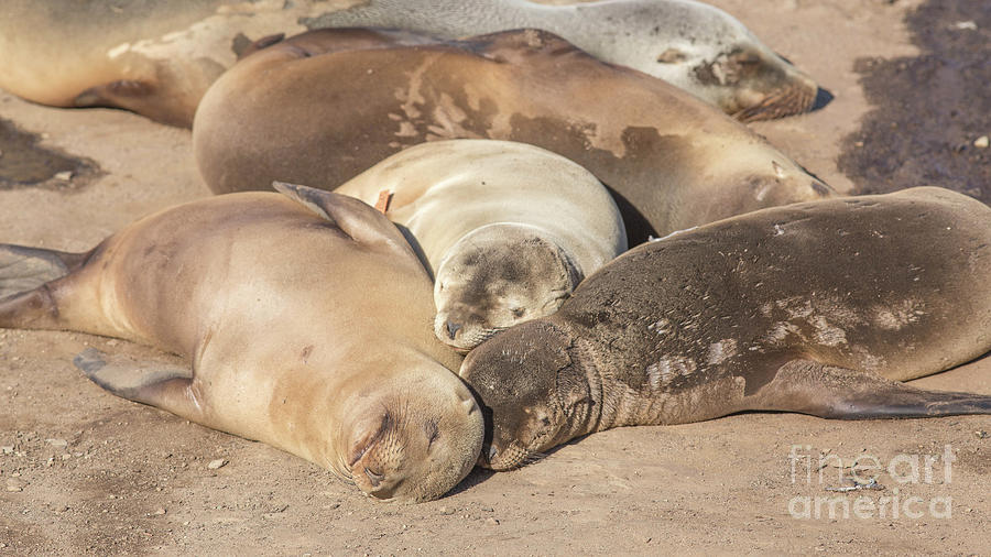 Sea Lion Photograph - Snuggle Time California Sea Lions Basking In The Sun by Edward Fielding