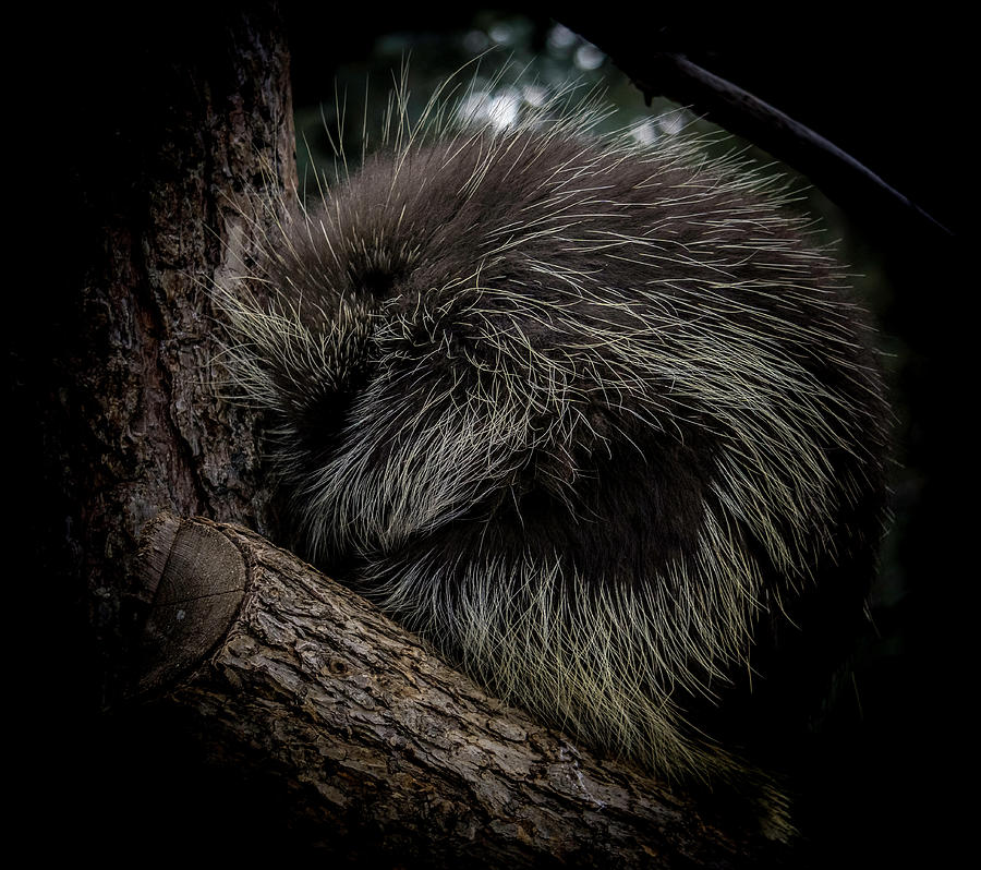 Snuggled up Porcupine by Peter Wagner