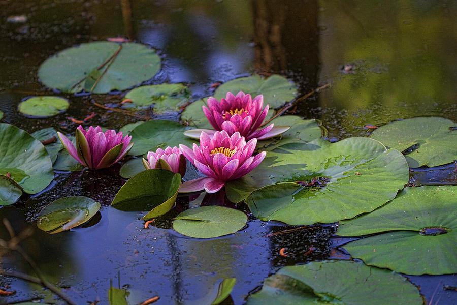 So So Sweet Pink Waterlilies by Kathy Clark