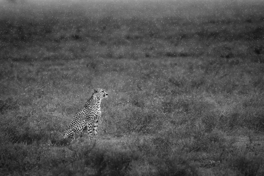 Cheetah Photograph - Soaking by Husain Alfraid