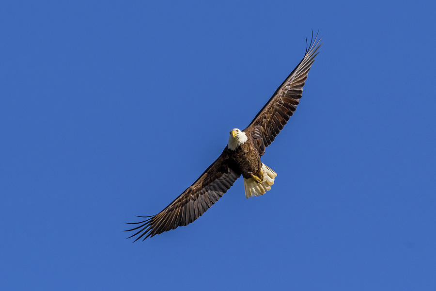 Soaring Eagle by Lori Coleman