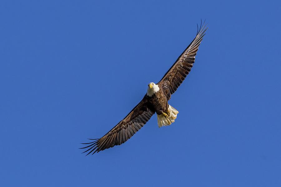 Soaring Eagle by Lori Coleman
