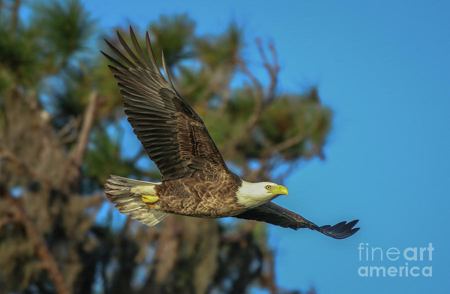 Soaring Eagle by Tom Claud