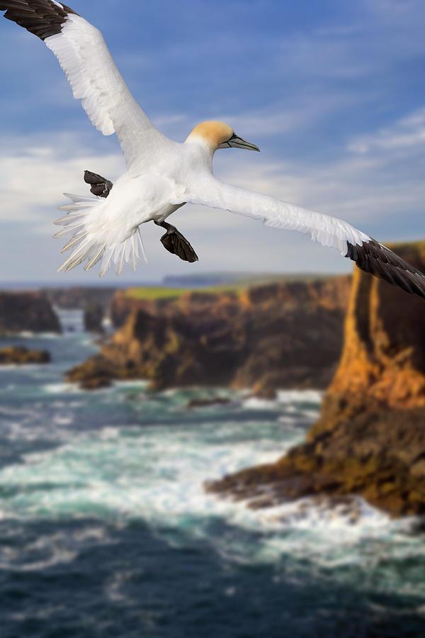 Soaring Gannet in Scotland by Arterra Picture Library