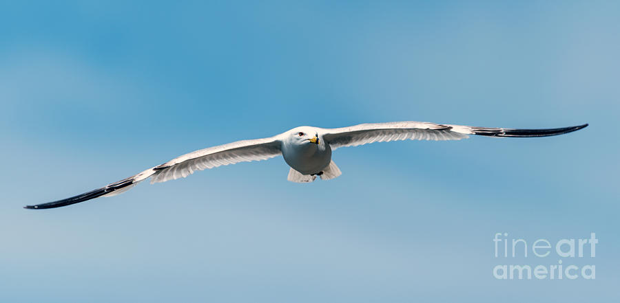 Soaring Gull by Matthew Nelson