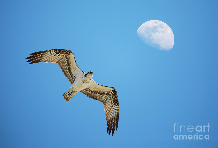 Soaring Osprey and Gibbous Moon by Kevin McCarthy