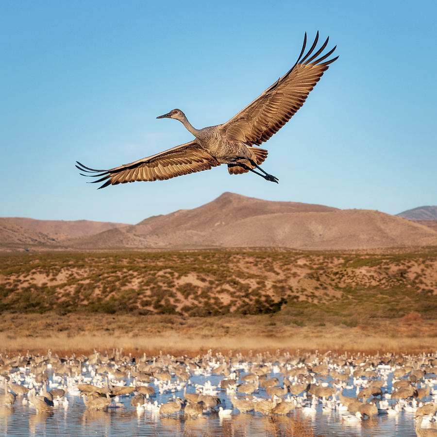Soaring Sandhill by Scott Bourne