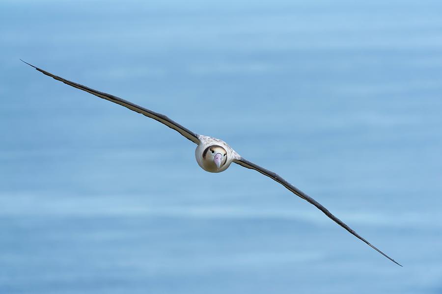 Soaring Short-tailed Albatross Photograph by Tui De Roy