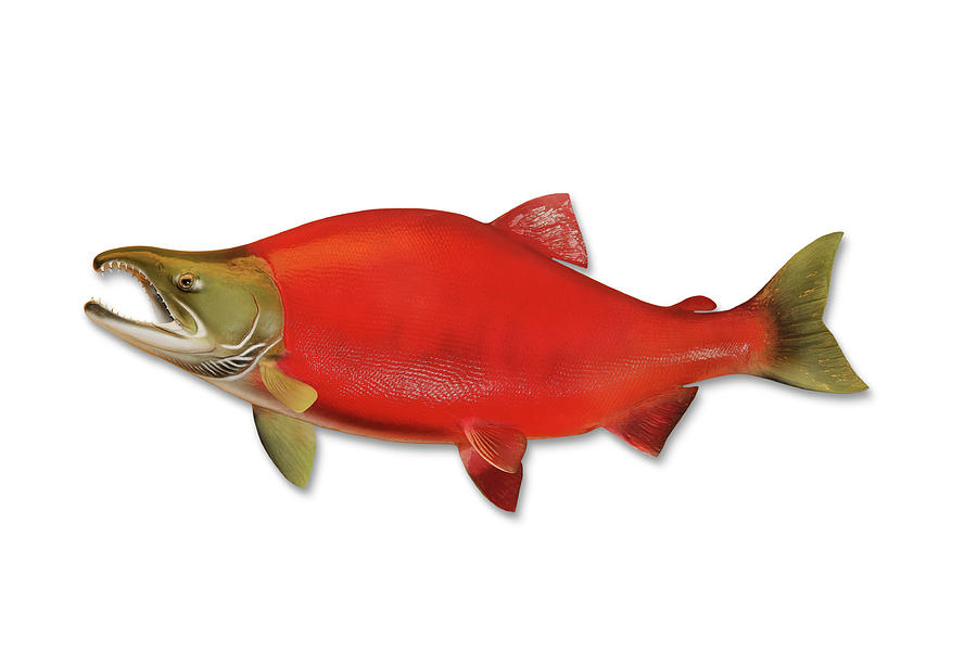 Sockeye Salmon With Clipping Path Photograph by Georgepeters
