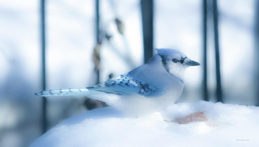 Soft Blue Jay by Diane Lindon Coy