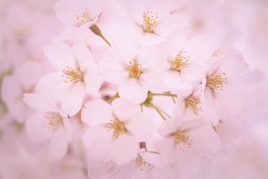 Soft Cherry Blossoms by Todd Henson