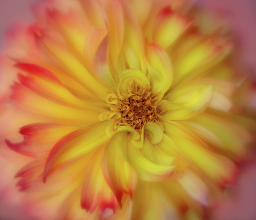 Soft Curves Dahlia by Mary Jo Allen