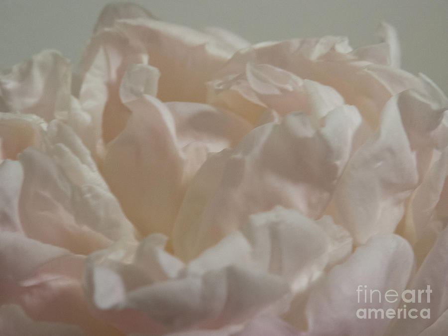 Soft flower petals 1 by Christy Garavetto