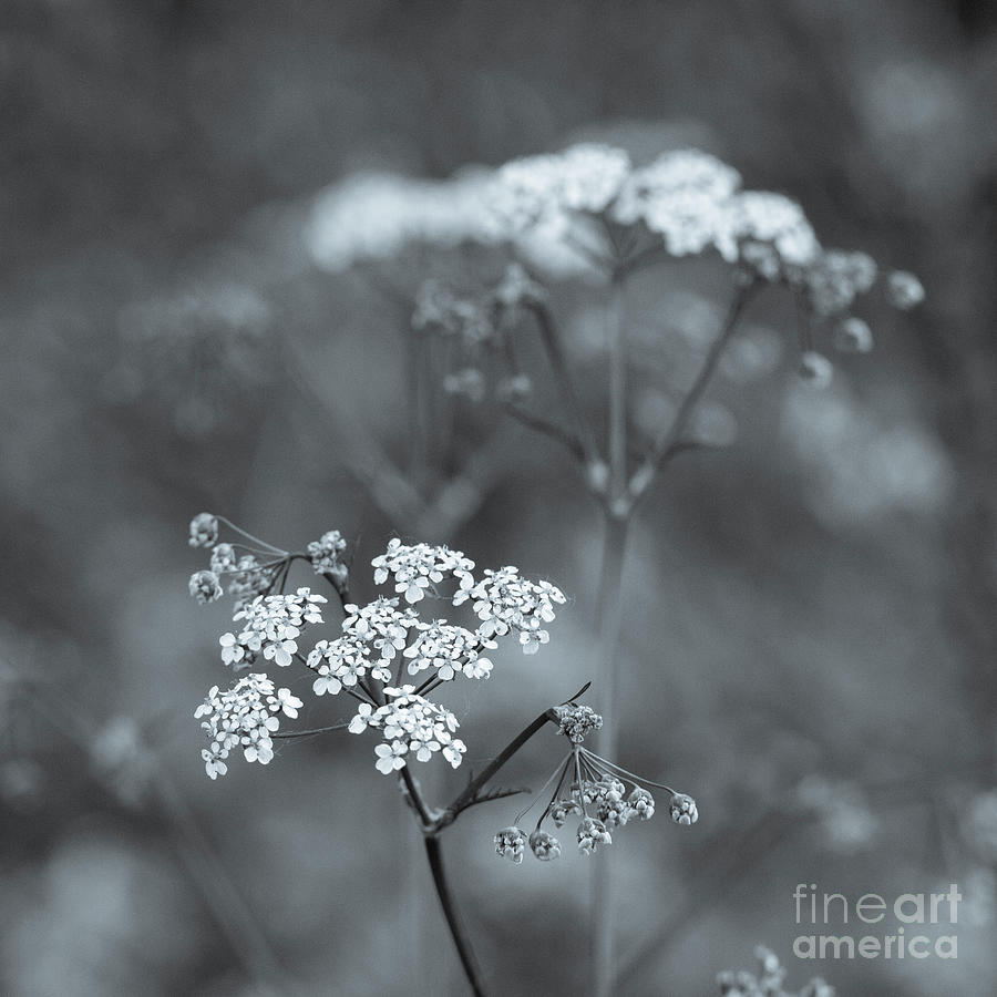 Soft Flowers by Tanya C Smith