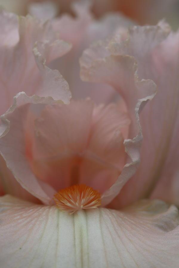 Soft Frilly Peach Iris by TJ Fox