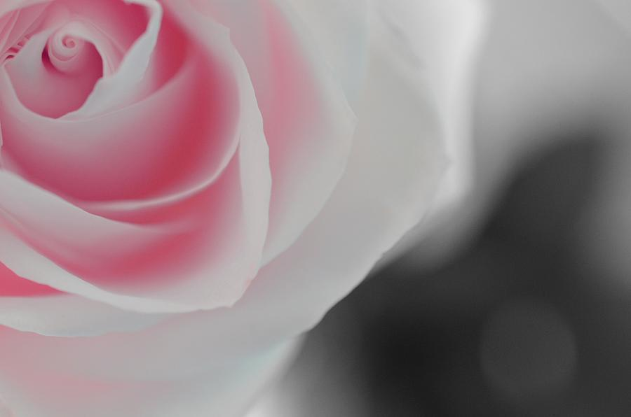 Soft Pink Rose by Marianna Mills