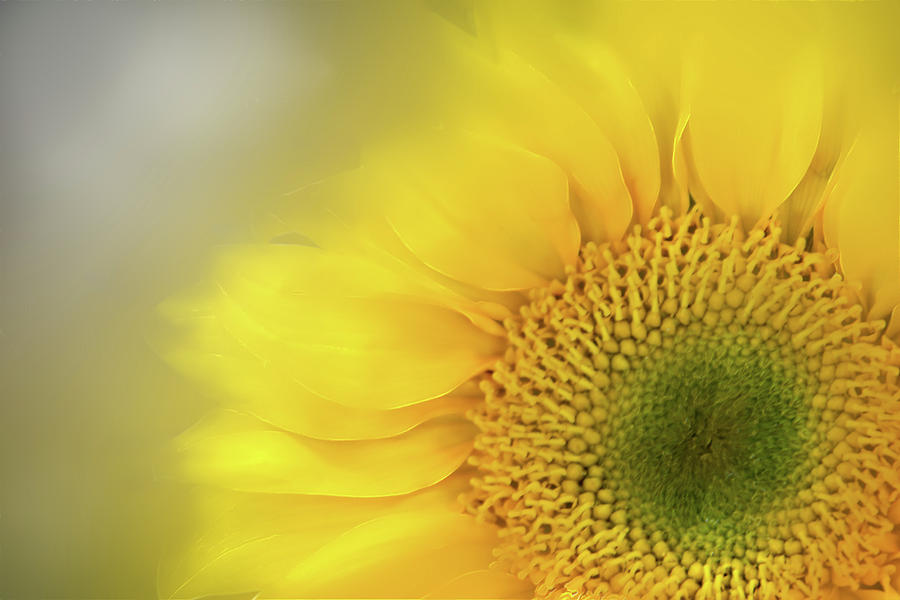 Softly Sunflower  by Terry Davis