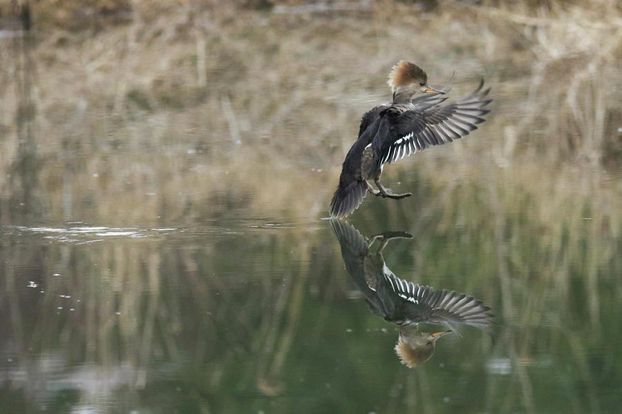 Softtail Landing by Brook Burling