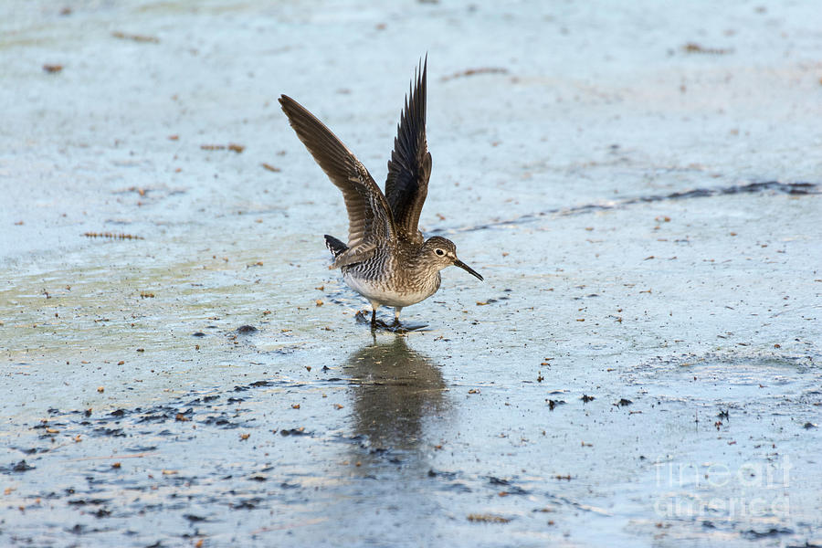 Solitary Sandpiper with Wings Extended by Ilene Hoffman