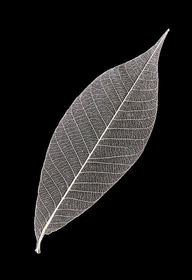 Solitary Skeleton Leaf by Gary Slawsky