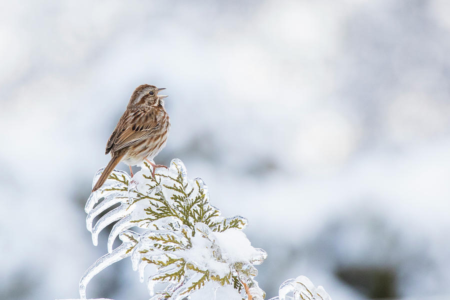 Song Sparrow and Freezing rain by Mircea Costina Photography