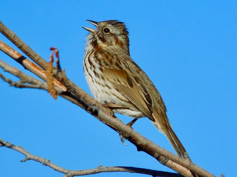 Song Sparrow by Dan Miller