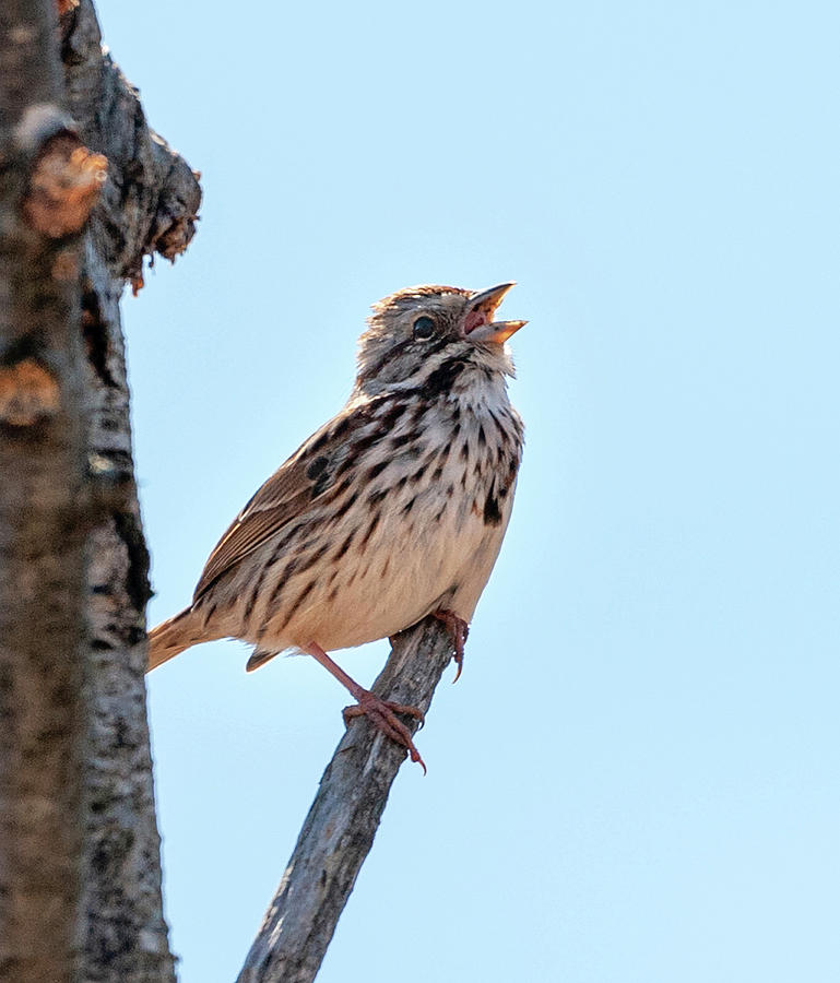 Song Sparrow Singing by Lara Ellis
