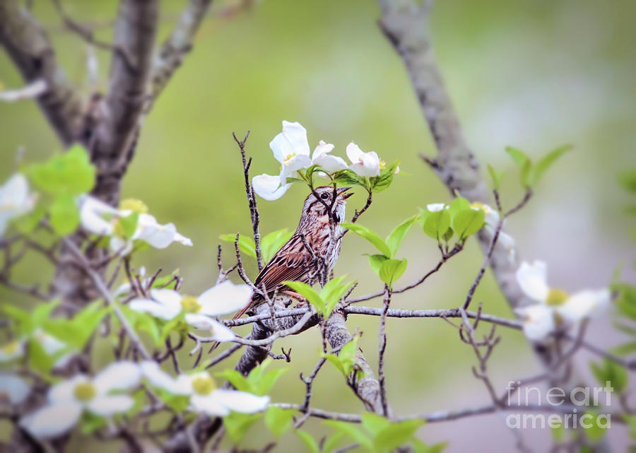 Song Sparrow Sings in the Dogwood by Kerri Farley