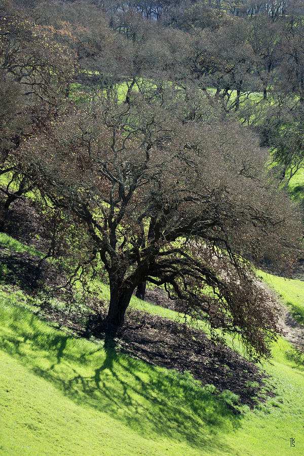 Sonoma Valley RP_Oak_1333_18 by Tari Kerss