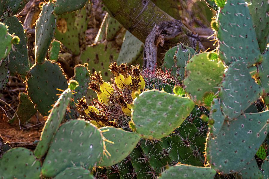 Sonoran Blend H1904 Photograph