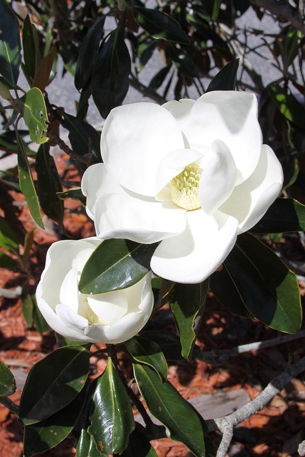 SoSouthern Magnolia Blossoms by Philip Bracco