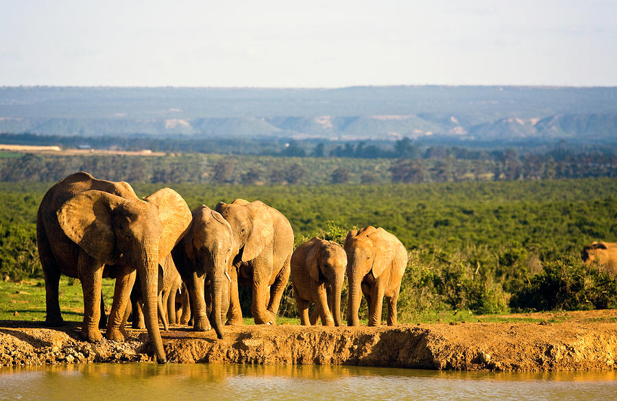 South Africa, African Elephants At Photograph by John Seaton Callahan