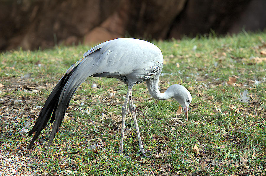 South African Crane by Steve Edwards
