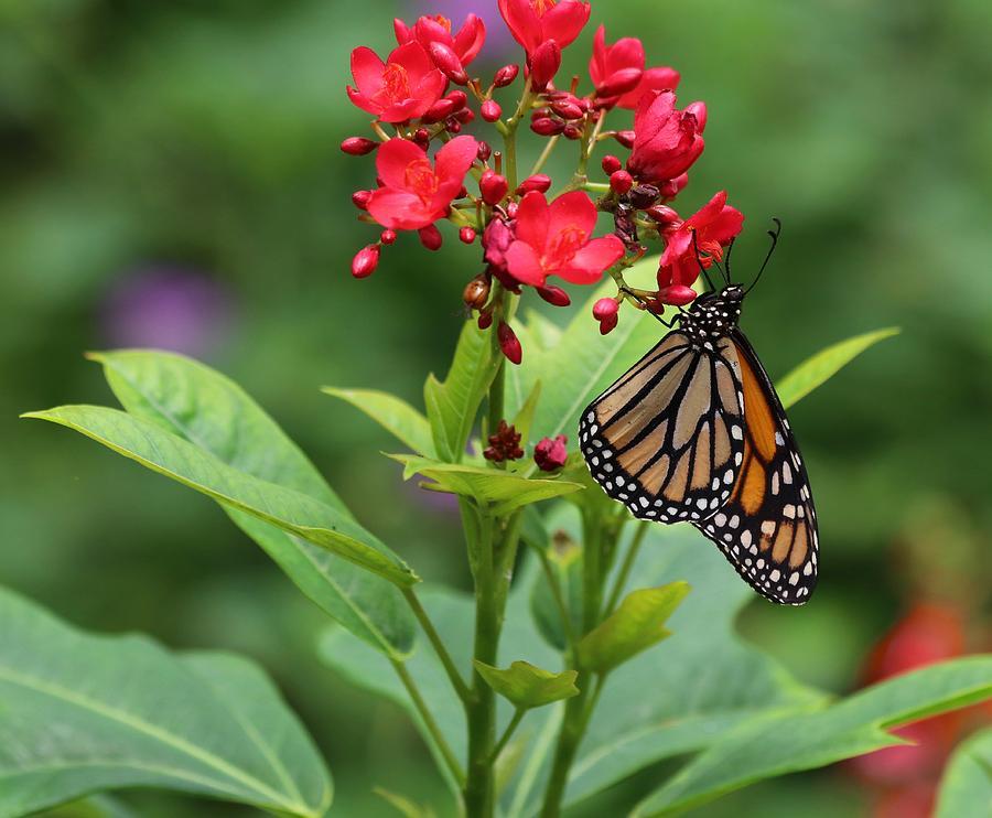 South Carolina Monarch Butterfly Photograph